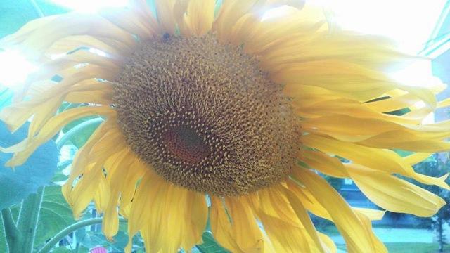 miller-gulyas-golden-angle-sunflower